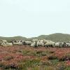 Græssende får på klitheden