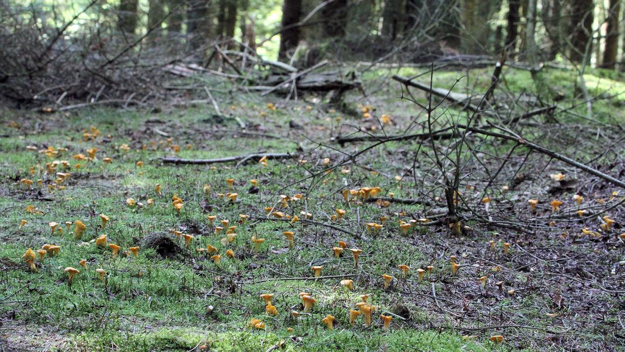Skovbund dækket af kantareller